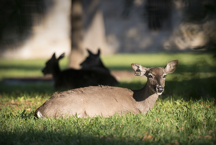 A deer basks in the morning sun at Joint Base San Antonio-Fort Sam Houston, Texas.  (Photo Courtesy: U.S. Air Force)