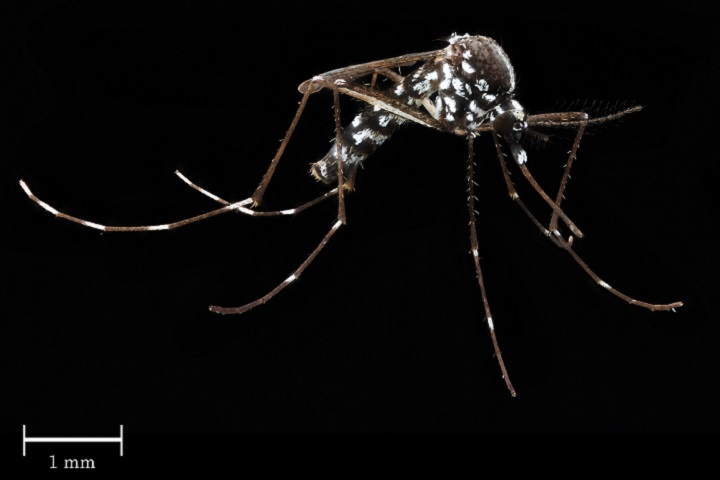 Aedes albopictus, is one type of mosquito responsible for spreading dengue and yellow fevers as well as the Zika and chikungunya viruses, are common throughout eastern and southern portions of the United States, South America, and other parts of the world. (Courtesy photo)