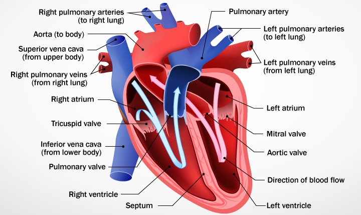 How the Heart Works Diagram