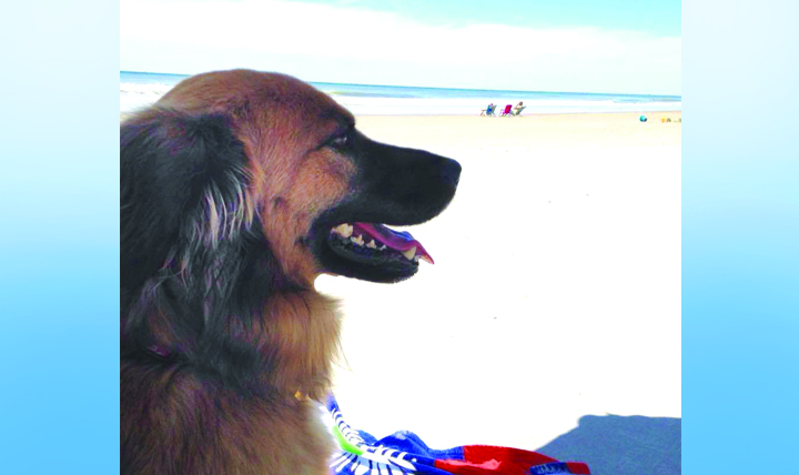 Dogs like Jade, shown relaxing in the shade in Emerald Isle, North Carolina, are more vulnerable than cats to heat hazards because they usually spend more time outside with their owners.