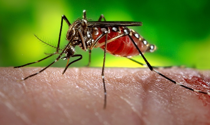 This photograph depicts a female Aedes aegypti mosquito, the species of mosquito primarily responsible for the spread of the Zika virus disease to people.